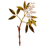 Huile essentielle Amyris Sauvage (Amyris balsamifera L.)