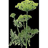 Huile essentielle Aneth Bio (Anethum graveolens L.)