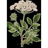 Huile essentielle Angélique Bio (Angelica archangelica L.)