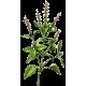 Huile essentielle Basilic Sacré sauvage (Ocimum sanctum)