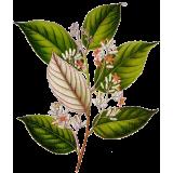 Huile essentielle de Benjoin Bio (Styrax tonkinensis Craib.)