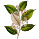 Huile essentielle Benjoin / Ethanol Bio*
