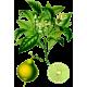 Huile essentielle de Bergamote Bio (Citrus bergamia R.P.)