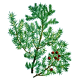 Huile essentielle de bois de Cade Bio (Juniperus oxycedrus L.)