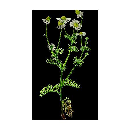 Huile essentielle camomille sauvage bio abc de la nature huiles bio - Huile essentielle pamplemousse coupe faim ...