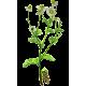 Huile essentielle Camomille sauvage Bio (Ormenis mixta var. multicaulis)