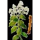 Huile essentielle de Cannelle de Ceylan Bio (Cinnamomum zeylanicum B.)