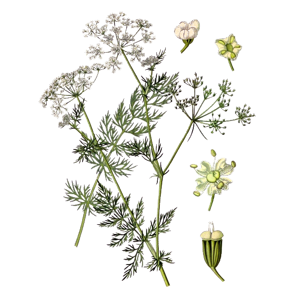 Huile essentielle Carvi bio - ABC de la Nature : aromathérapie