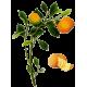 Huile essentielle de Clémentine bio (Citrus clemantina)