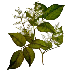 Huile essentielle Copahu Baume Sauvage