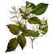Huile essentielle baume de Copahu (Copaifera martii Hayne)