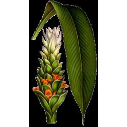 Huile essentielle Curcuma Bio*