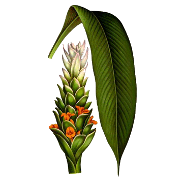 https://www.abcdelanature.com/2689-thickbox/huile-essentielle-curcuma-bio.jpg