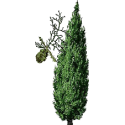 Huile essentielle Cypres Toujours Vert Bio*