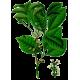 Huile essentielle d'Elémi sauvage (Canarium luzonicum)