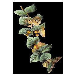 Huile essentielle Eucalyptus Citronné Bio*