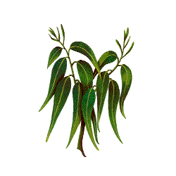 Huile essentielle Eucalyptus Mentholé Sauvage