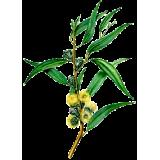 Huile essentielle Eucalyptus à Cryptone bio (Eucalyptus polybractea cryptonifera)