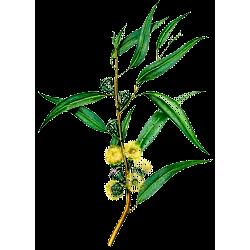 Huile essentielle Eucalyptus Cryptone Bio*