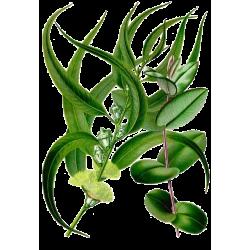 Huile essentielle Eucalyptus Radiata Bio*
