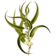 Huile essentielle Eucalyptus Smithii Bio*