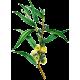 Huile essentielle Eucalyptus Staigeriana Bio*