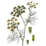 Huile essentielle Fenouil Doux bio (Foeniculum vulgare)