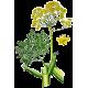 Huile essentielle Galbanum bio (Ferula galbaniflua)