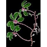 Huile essentielle Gaulthérie Wintergreen bio (Gaultheria fragantissima)
