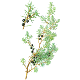 Huile essentielle de Genévrier Bio (Juniperus communis)