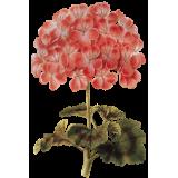 Huile essentielle Géranium Bourbon bio (Pelargonium X asperum)
