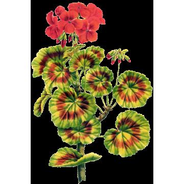 Huile essentielle Geranium Egypte Bio*