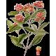Huile essentielle Girofle Clous bio (Eugenia caryophyllus)