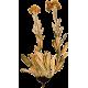 Huile essentielle Hélichryse Bractifère bio (Helichrysum bracteiferum)