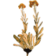 Huile essentielle Helichryse Bractifère Bio*