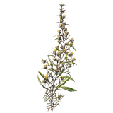 Huile essentielle Inule Odorante Bio (Inula graveolens)