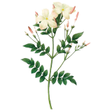 Huile essentielle Jasmin absolue (Jasminum grandiflorum)