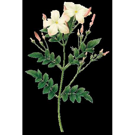 Huile essentielle jasmin absolue culture abc de la nature - Huile essentielle pamplemousse coupe faim ...
