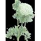 Huile essentielle Khella sauvage Bio (Amni visnaga Lamarck)