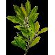 Huile essentielle Laurier Noble bio (Laurus nobilis)