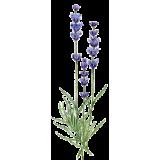 Huile essentielle Lavandin Abrial bio (Lavendula burnati Briquet)