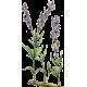Huile essentielle Lavande Aspic Bio (Lavendula latifolia Medikus)