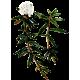 Huile essentielle Ledon du Groenland bio (Ledum groenlandicum)