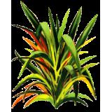 Huile essentielle Lemongrass bio (Cymbopogon flexosus)