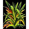 Huile essentielle Lemongrass Bio*