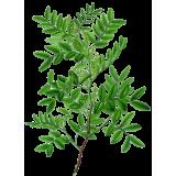 Huile essentielle Lentisque Pistachier bio (Pistacia lentiscus)