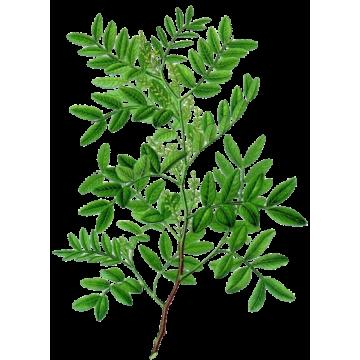 https://www.abcdelanature.com/2728-thickbox/huile-essentielle-lentisque-pistachier-bio.jpg