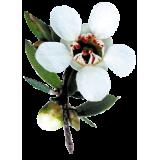 Huile essentielle Manuka sauvage (Leptospermum scoparium)