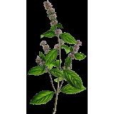 Huile essentielle Menthe Poivrée bio (Mentha piperita)
