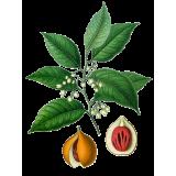 Huile essentielle Noix de Muscade bio (Myristica fragans)